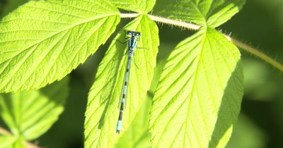 Familiar Bluet Resting on Raspberry Leaf