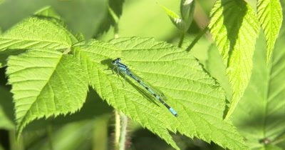 Familiar Bluet,Damselfly Resting on Raspberry Leaf