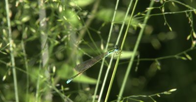 Sedge Sprite,Resting on Grass Stalk