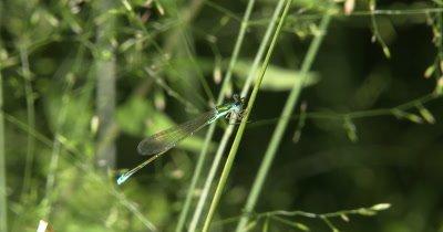 Sedge Sprite Damselfly,Hanging from Grass Stem