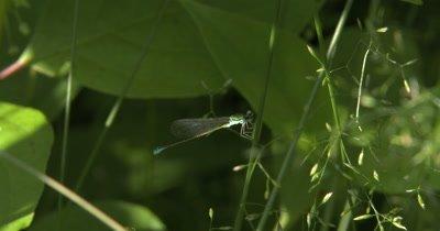 Sedge Sprite,Damselfly Resting,Hunting from Grass Stalk