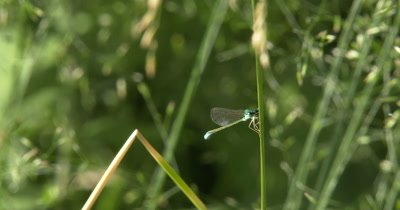 Sedge Sprite Damselfly,Hanging from Grass Stem,Facing Camera,Bright Blue Eyes
