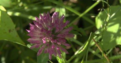 Red Clover Flower,Wildflower,Dappled Sunlight