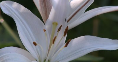 White Lily,Ant Crawling Over