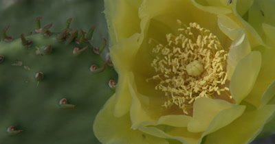 Eastern Prickly Pear Cactus and Flower