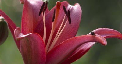 Lily Flower,Burgundy,Red,With Fly on Petal