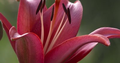 Close Up,Red Lily Flower