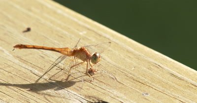 Yellow-legged MeadowHawk,Dragonfly Resting on Wood Surface,Backlit,Abdomen Fluid Visible