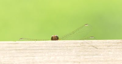 Yellow-legged MeadowHawk,Dragonfly Peeking Over Wooden Railing