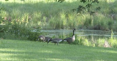 Canada Goose Family,Feeding at Pond Edge,Parents Taking Tunrs Feeding,Watching For Danger