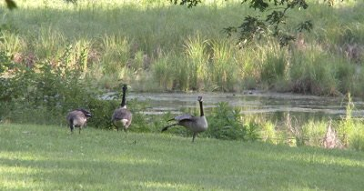 Canada Goose Family,Feeding at Pond Edge,Parents Watching for Danger,One Stretching