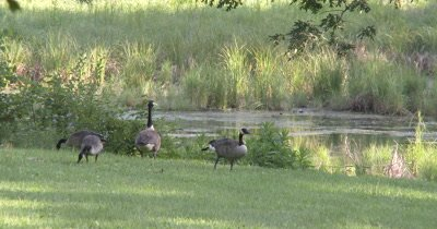 Parents Defending Canada Goose Family,Feeding at Pond Edge,One Scratching With Foot