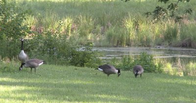 Canada Goose Family,Feeding at Pond Edge,Parents Watching For Danger