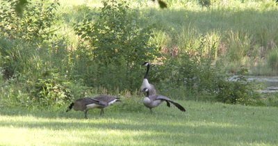 Canada Goose Family,Feeding at Pond Edge,Parents Watching,Juvenile Stretches Wing