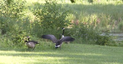 Canada Goose Family,Juveniles Are Stretching Wings in Preparation for Flight