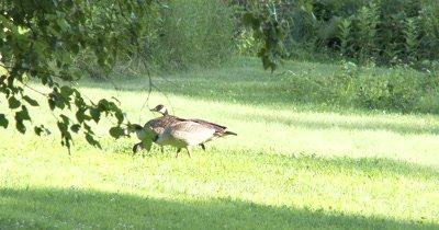 Canada Goose Family,Feeding,Hen Guarding Sub Adult Juveniles