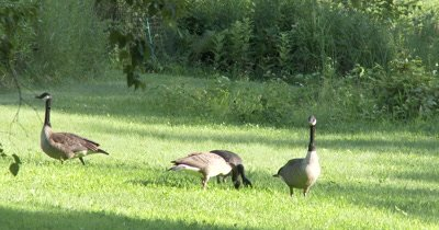 Canada Goose Family,Feeding,Paresnts Watching over Juveniles
