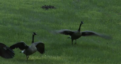 Canada Goose Family,Preparing for Flight,Then Flying Across Grass