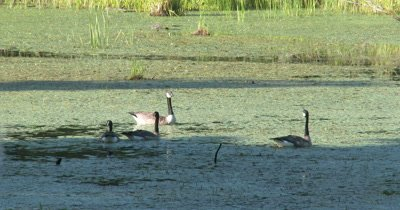 Canada Geese in Pond,Alert,Heads Up and Bobbing,Watching Around in Circles