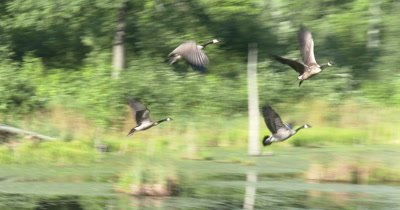 Canada Goose Family,Preparing for Flight,Taking Off,Young Geese Unsteady