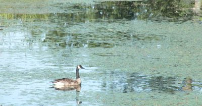 Lone Canada Goose Swimming Through Pond Weeds,Occasionally Looking Down into Water