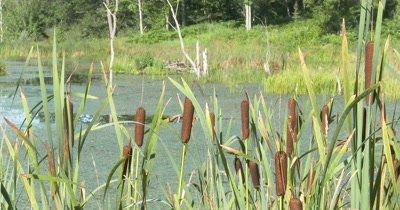 Cattail Spikes and Plants in Pond,Wetland