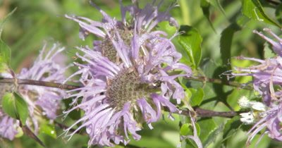 Bee Feeding on Bee Balm,Wildflower,Burgamot,ZO to WA