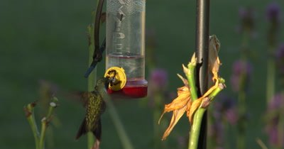 Ants Feeding at Hummingbird Feeder,Ruby Throated Hummingbird Enters,Feeds Right Around Ants