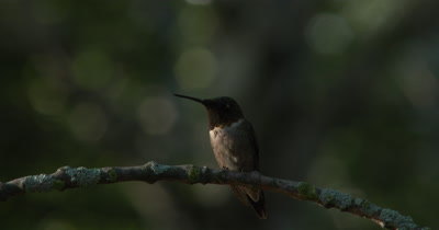 Ruby Throated Hummingbird,Male,Enters Frame,Circles,Lands