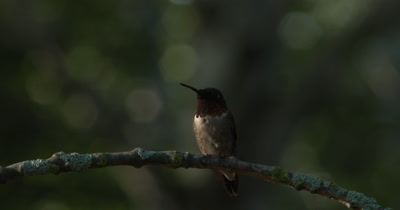 Ruby Throated Hummingbird,Male on Branch,Looking Around,Exits,Twilight Lighting