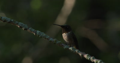 Ruby Throated Hummingbird,Male on Branch,Looking Around