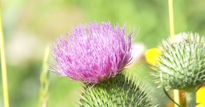 Thistle Flower,Wildflower