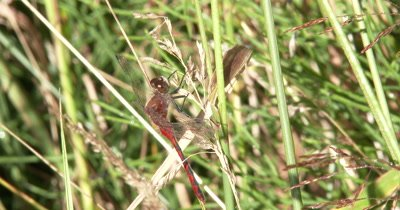 White-faced Meadowhawk,Dragonfly Eating Aphids From Dried Grass