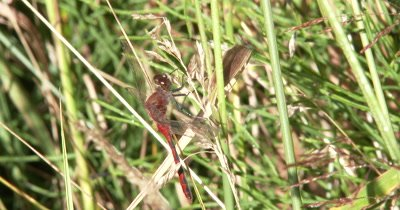 White-faced Meadowhawk,Dragonfly Hanging From Dried Grass Seeds