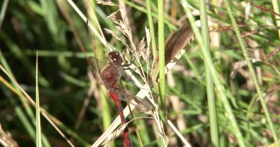 White-faced Meadowhawk,Dragonfly Hunting from Dried Grass,Moves Head