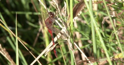 White-faced Meadowhawk,Dragonfly Suspended from Dried Grass