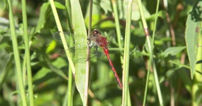 White-faced Meadowhawk,Dragonfly Hunting from Grass Blade,Moves Head,Looking for Prey