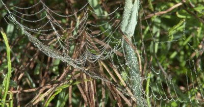 Spider Web Covered in Dew Drops,Spider in Center