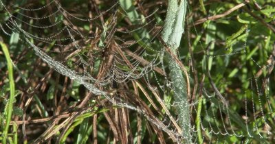 Spider in Web,Web Covered n Dew Drops,Light Breeze