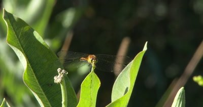 MeadowHawk,Dragonfly Perched on Milkweed Leaves