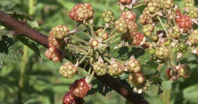 Blackberry Plant,New Berries Emerging,Not Quite Ripe