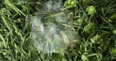 Iridecent Spider Web,Covered With Dew
