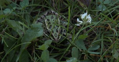 Northern Leopard Frog,Hidden in Grass,Shadow Moves Across Frog