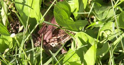 Brown Leopard Frog Hiding in Grass