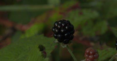Single Blackberry,Edible Wild Plant
