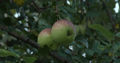 CU Apples on tree,ZO to WA