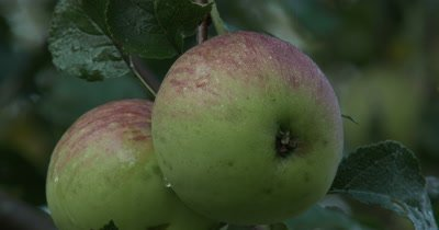 Apples on Apple Tree,ZI to CU Apple Pair