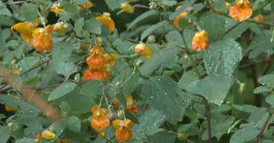 Group of Jewelweed Blossoms,Wild Edible Plant,Medicinal Plant