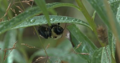 Bumblebee Sleeping Beneath Plant Leaves,Heavy With Dew From Night
