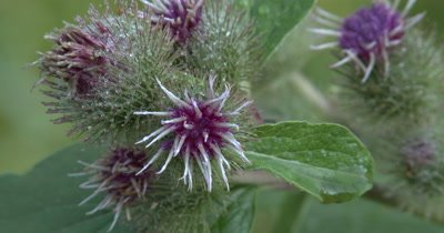 Wild Thistle Flowers,Burdock